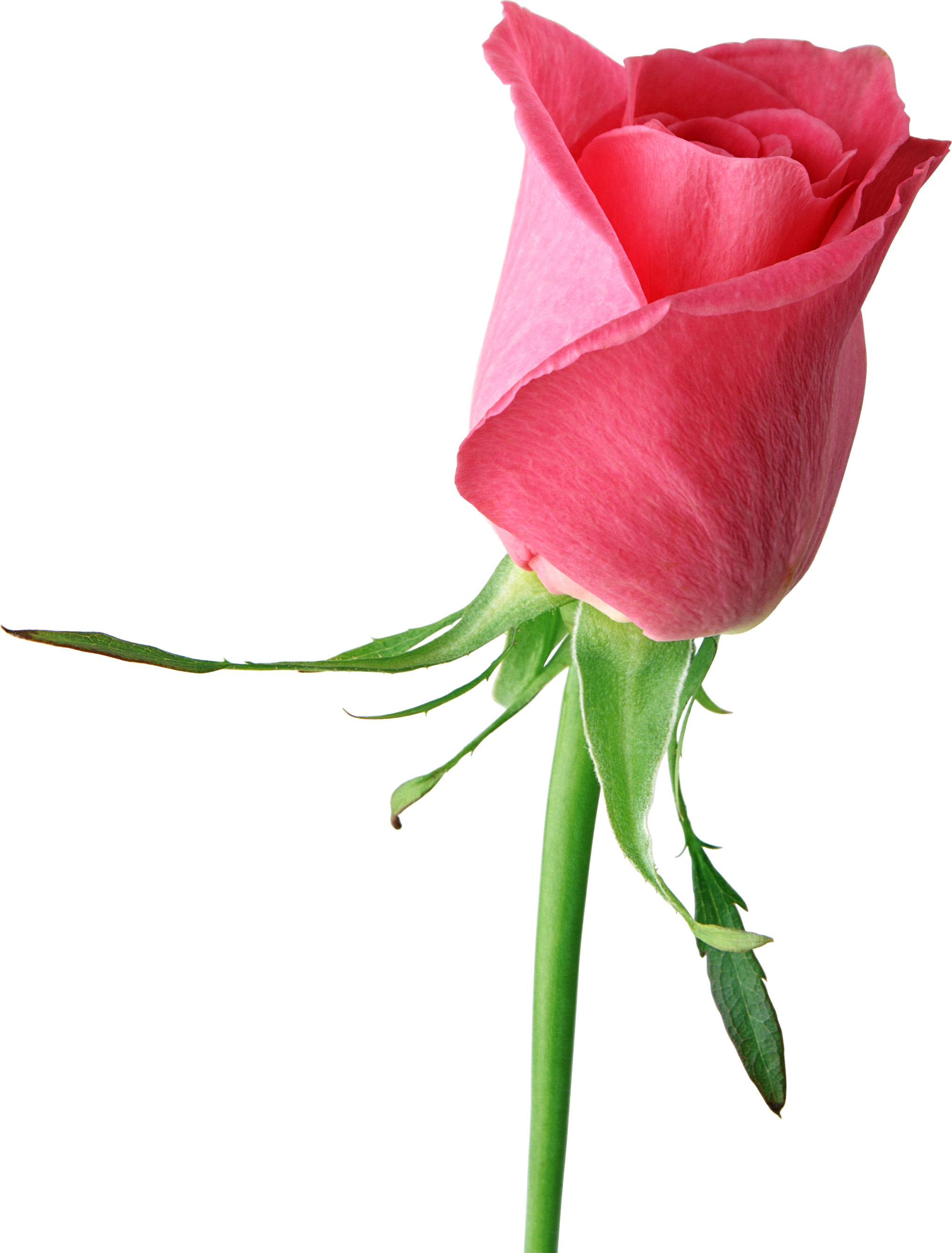 3 clipart rose. Free png download clip