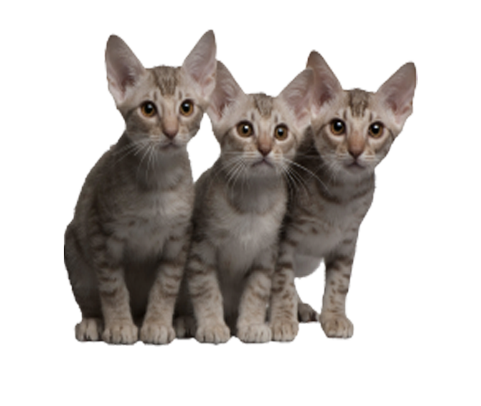 4 cats png