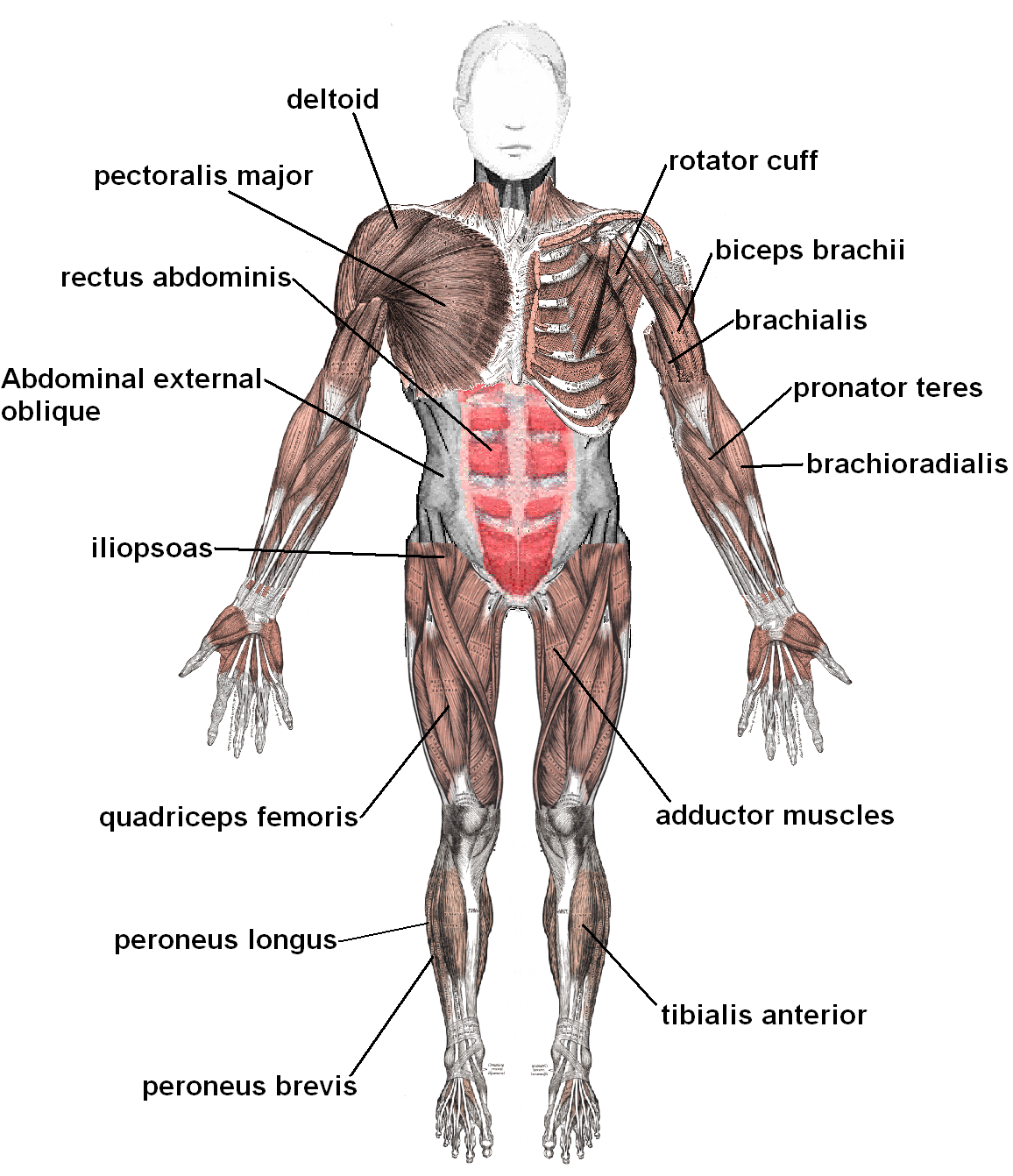 Abs vector body muscle. How much recovery time
