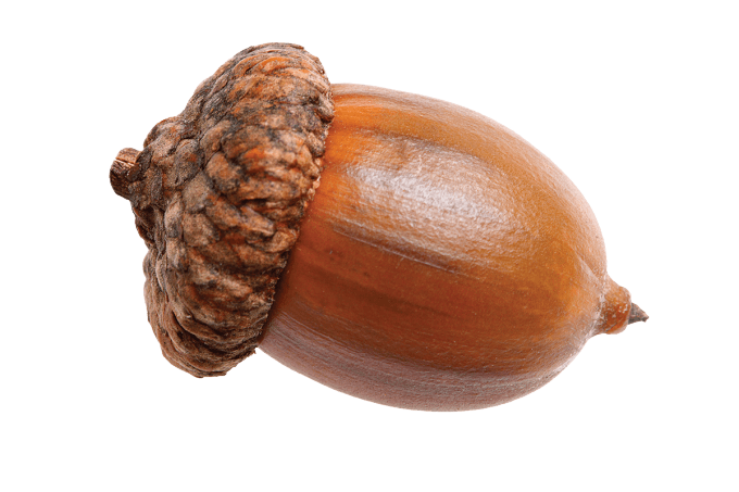 Acorn png. Single transparent stickpng nature
