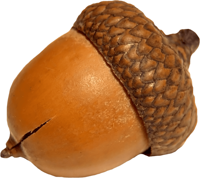 Acorn png. Free images toppng transparent