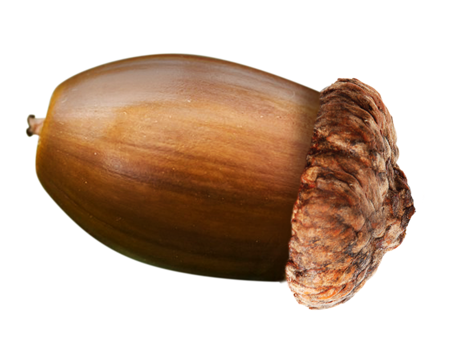Acorn transparent food. Why nut is used