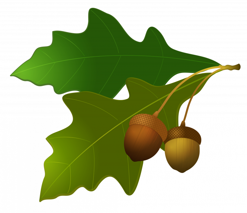 Acorn transparent leave. Thanksgiving leaves and acorns