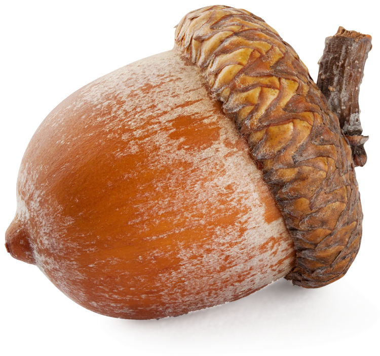 Acorn transparent leave. Png images all
