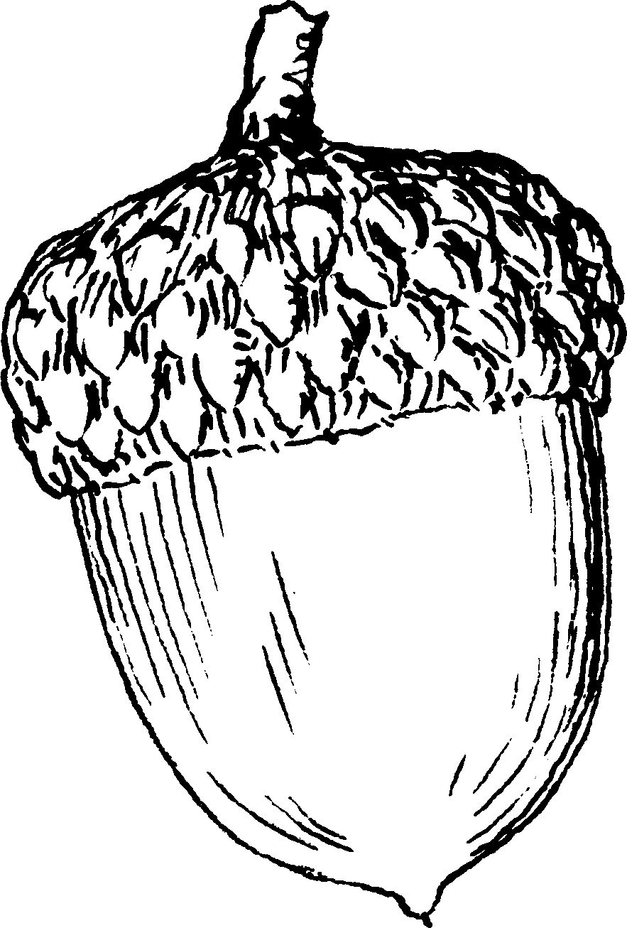 nuts drawing chestnut