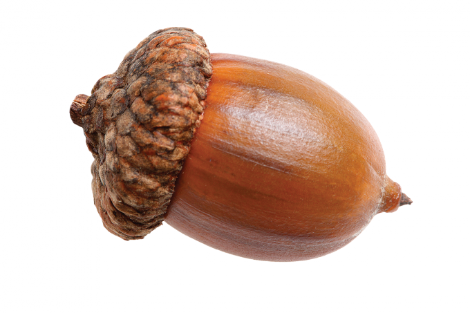 Acorn transparent vector. Nut png images free