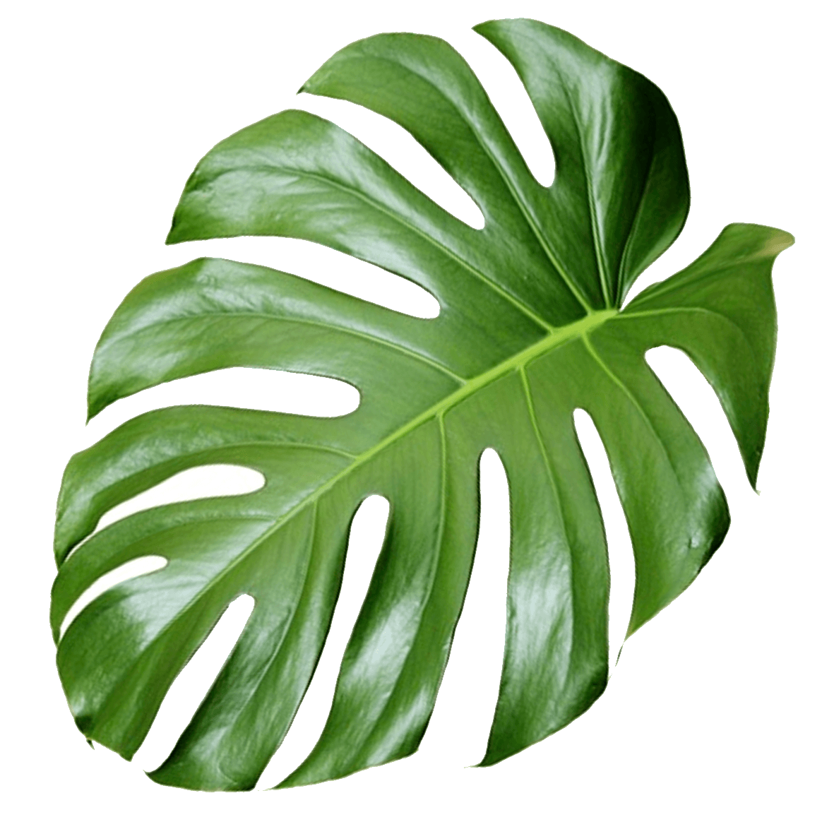 Aesthetic plant png. Aesthetics monstera transprent free
