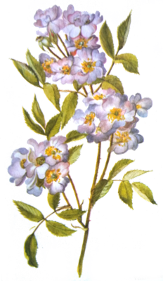 Aesthetic png pack tumblr. Flowers transparent illustrations
