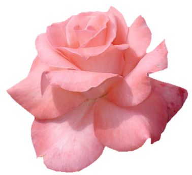 Aesthetic rose png. Transparent roses tumblr