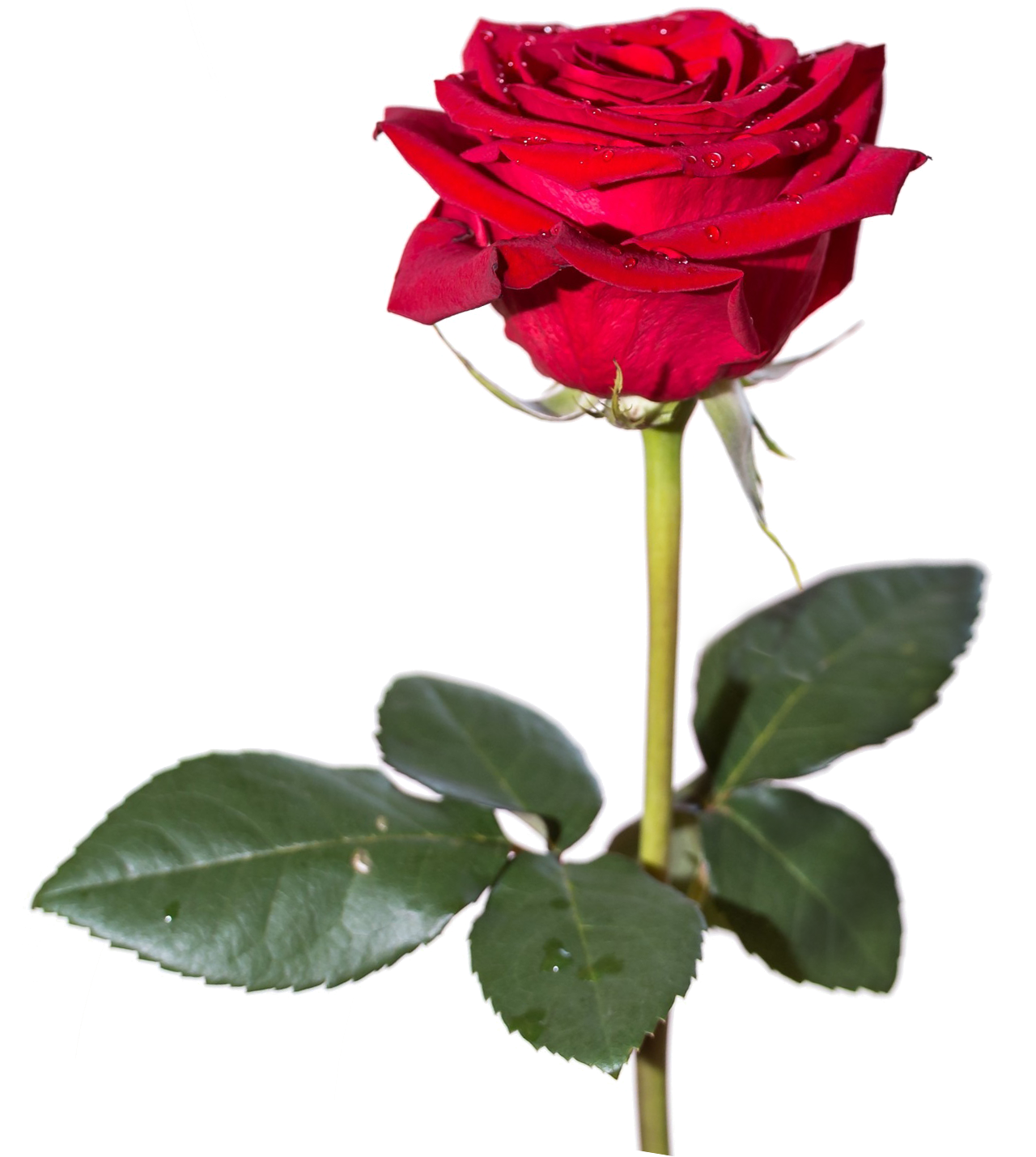 Aesthetic rose png. Hd transparent images pluspng
