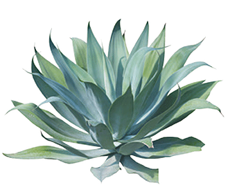 Aloe drawing tequila plant. Agave png transparent images