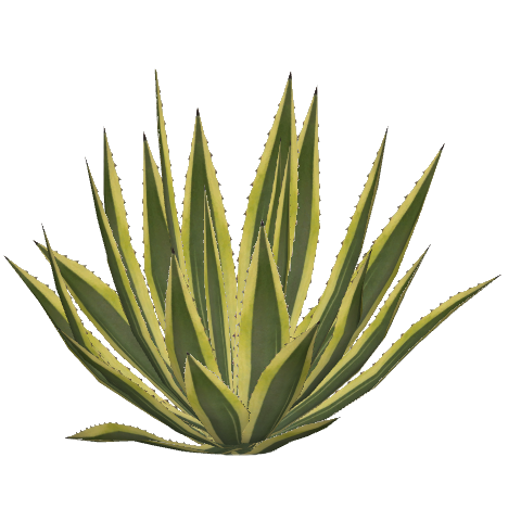 Agave plant png. Image american felipe zt
