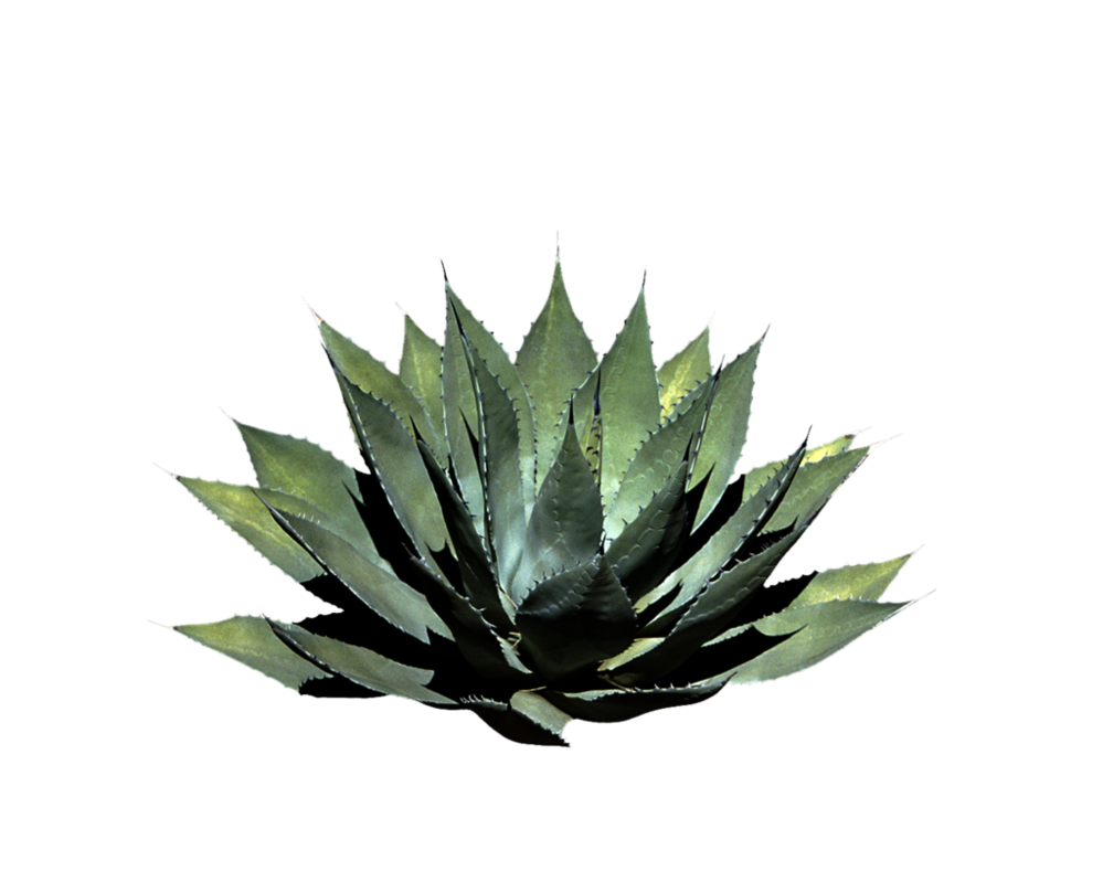 Agave plant png. By moonglowlilly on deviantart