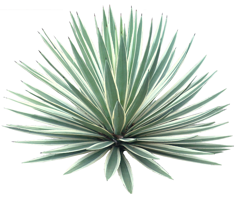 Agave plant png. A collection of tropical