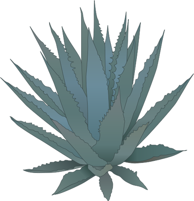 Aloe drawing tequila plant