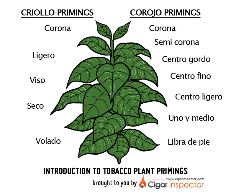Agriculture clipart tobacco crop. Introduction to plant primings