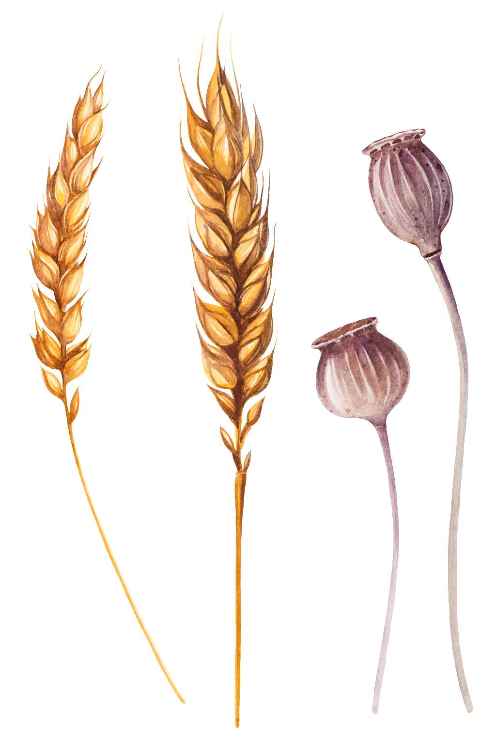 Ai vector wheat. Hand painted ear of