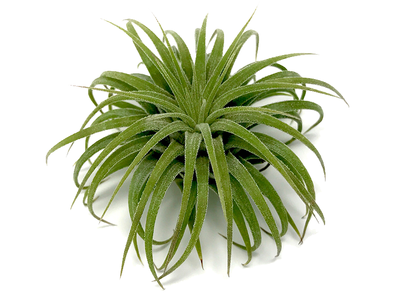 Air plant png. The hub best priced