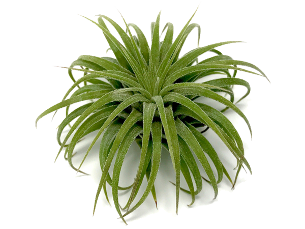 Air plant png. Collections hub collection