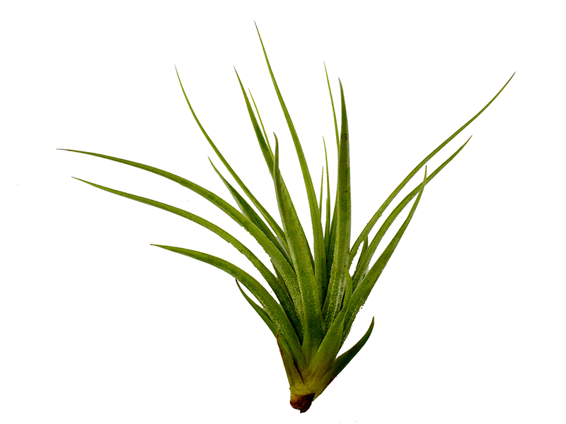 air plant png