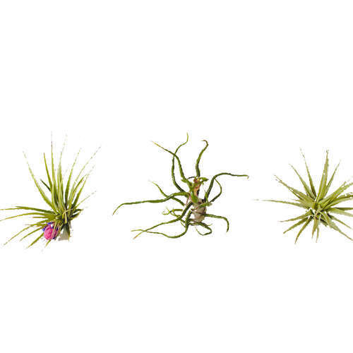 Air plants png. Shop the gardens i
