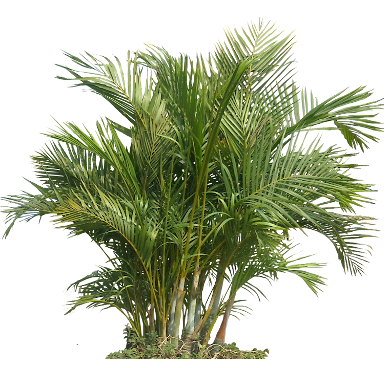 palm tree top png