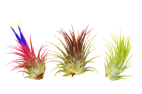 Air plants png. How to care for