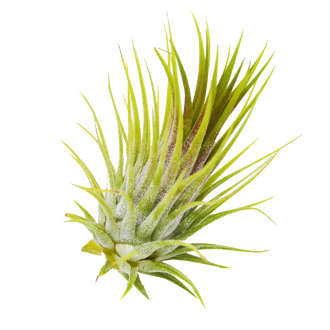 Air plants png. Pack ionantha inches