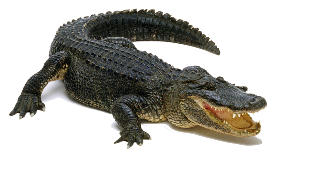 alligator .png