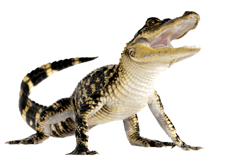 transparent alligator water png