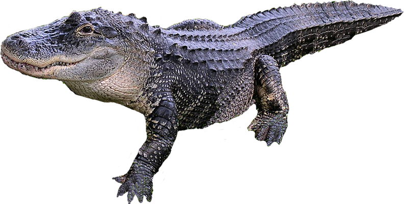 Crocodile PNG images free download