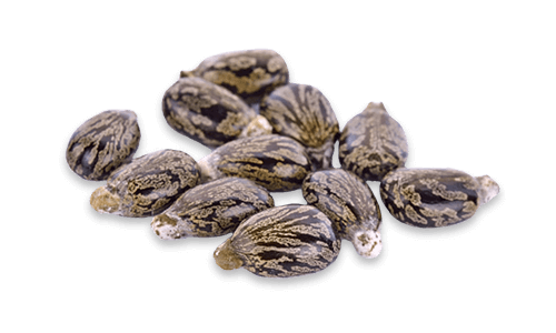 Nuts vector castor seed. Products catania spagna oil