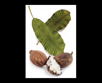 Almond vector shea nut. Our story a better