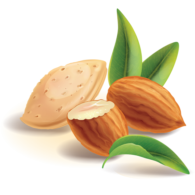 Almond vector. Realistic nuts png and