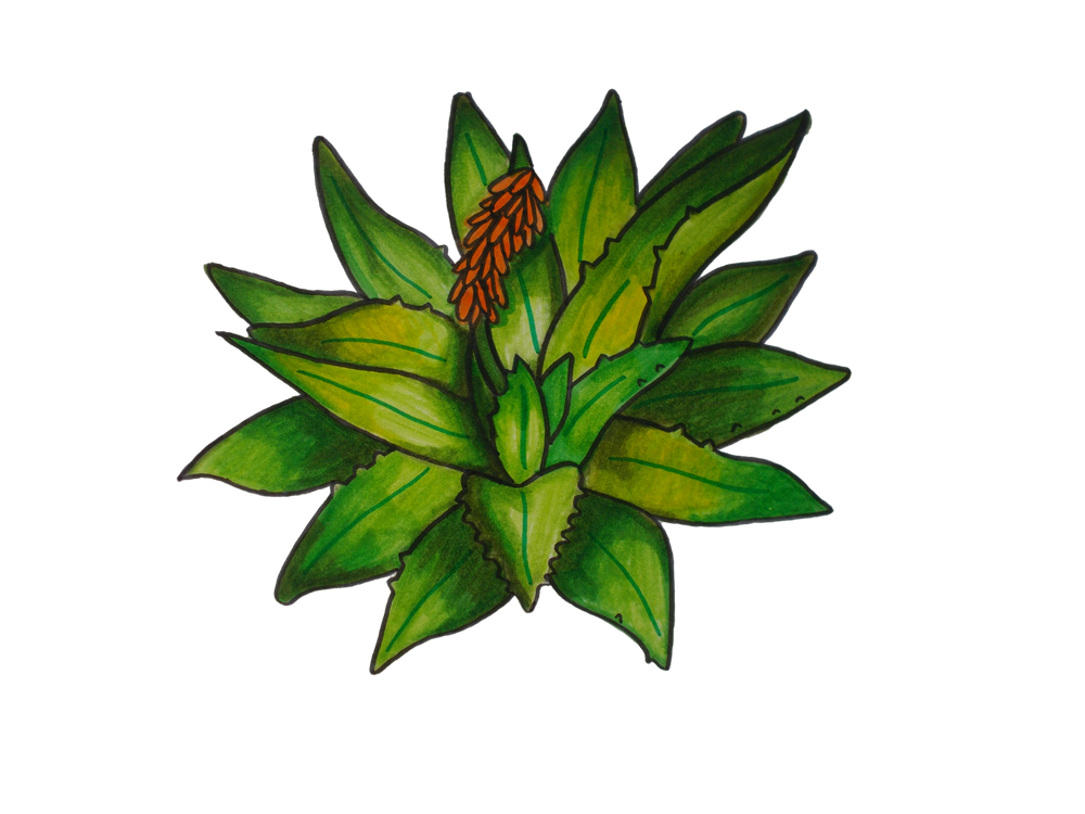 Aloe drawing green plant. Briana g illustration image