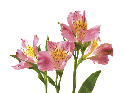 Alstroemeria drawing. Discover the language meanings