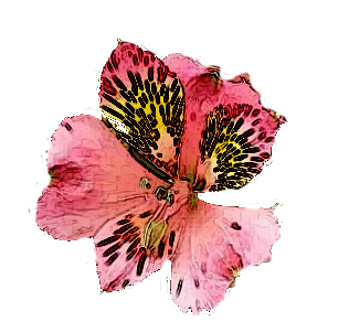 Alstroemeria drawing flower. Transparent flowers pink red
