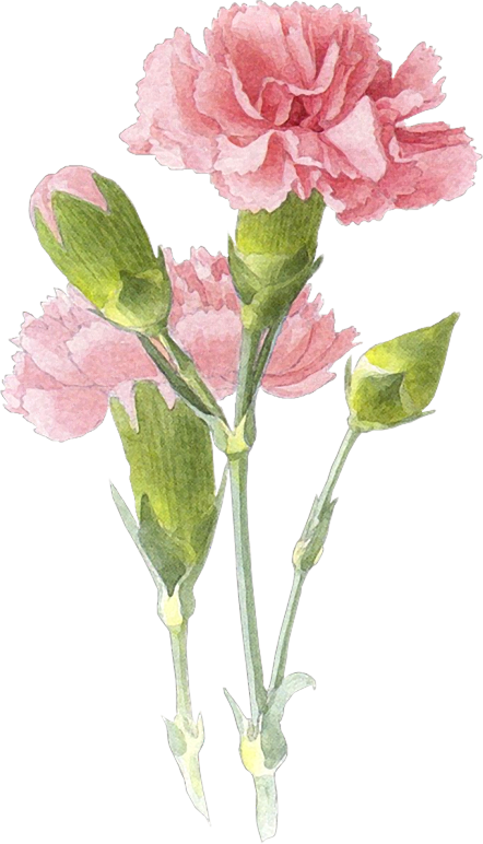 petal drawing carnation