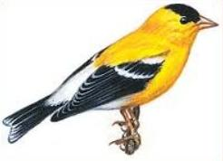 American Goldfinch. Free cliparts download clip