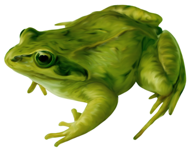 Amphibian drawing bullfrog. Frog clip art real