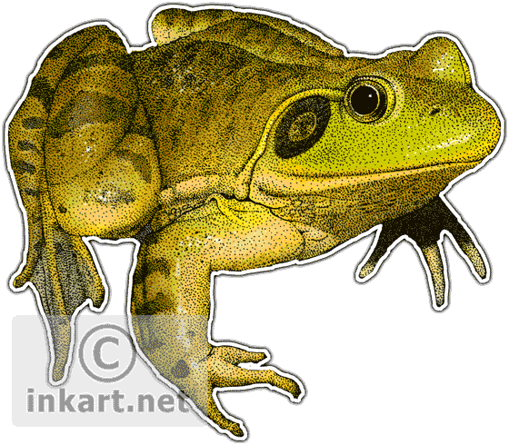Amphibian drawing bullfrog. Wildlife art frogs american
