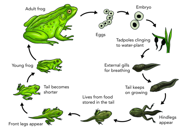 collection of frog. Growth drawing life cycle jpg black and white library