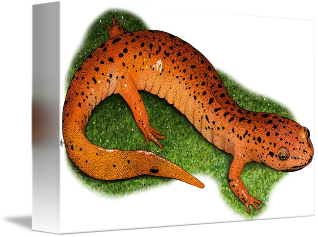 Amphibians drawing eastern newt. Red salamander by roger