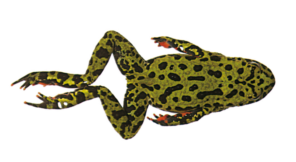 Amphibian drawing fire. Aquatic frogs frog swimming
