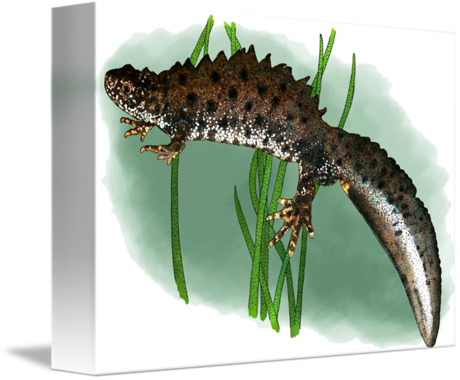 Newt drawing book. Great crested by roger