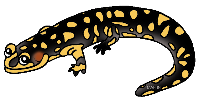 Amphibian drawing newt. Collection of free amphibiums
