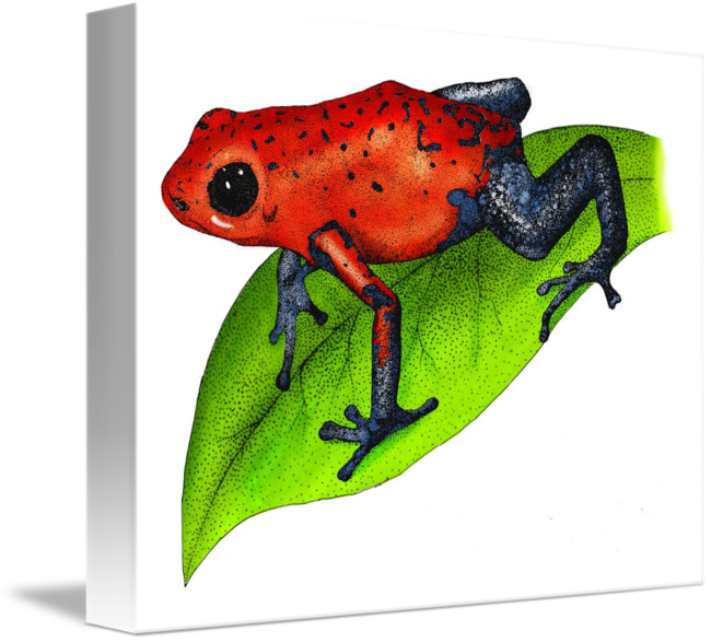 amphibians drawing poison dart frog