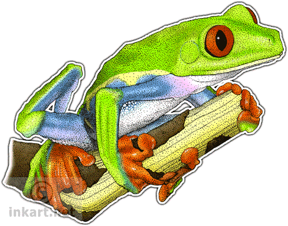 Amphibian drawing rainforest frog. Red eyed tree agalychnis