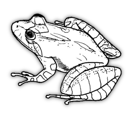 amphibians drawing scientific