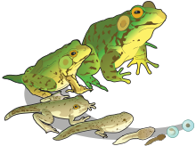 Amphibians drawing common frog. Wikipedia life cycle of